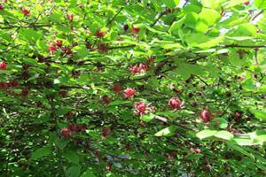 اطلاعاتی جالب و خواندنی درباره درختچه گل شرابی