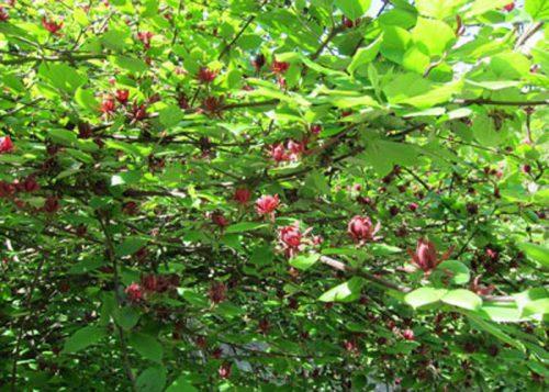 درختچه گل شرابی