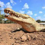 تفاوت کروکدیل و تمساح چیست؟