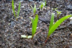 چگونگی کاشت، داشت و برداشت گیاه اسفناج