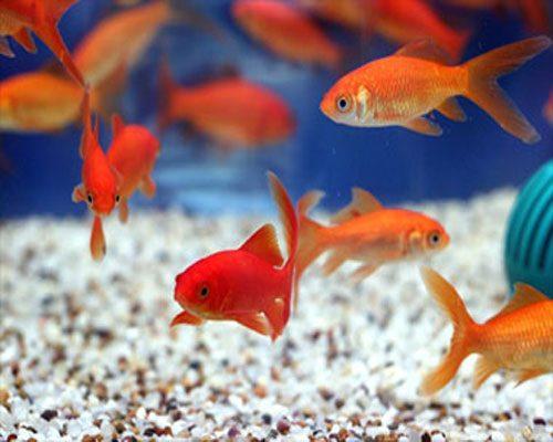 نگهداری ماهی قرمز