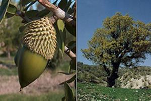 واقعیت هایی جالب درباره درخت بلوط