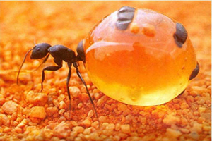 دانستنیهای جالب درباره مورچۀ عسل