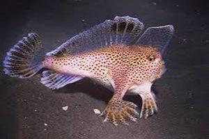 کشف ماهی صورتی دست دار که می تواند راه برود