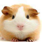 اگه علاقه مند به نگهداری موش همستر در خانه هستید بخوانید