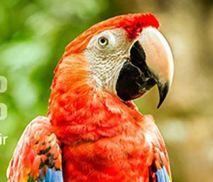 جوجه کشی از پرندگان زینتی در خانه