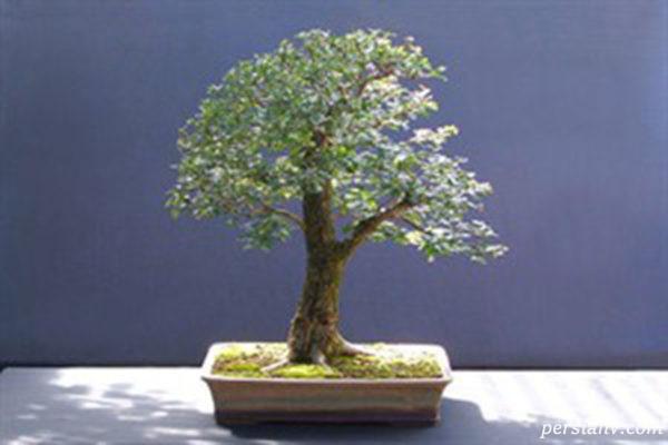 گیاه زالزالک زینتی