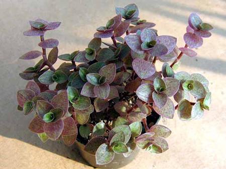 گیاه کالیسیا