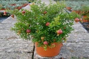 شیوه های نگهداری و پرورش درختان میوه گلدانی