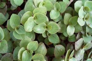 روشهای نگهدای و پرورش گل کالیسیا