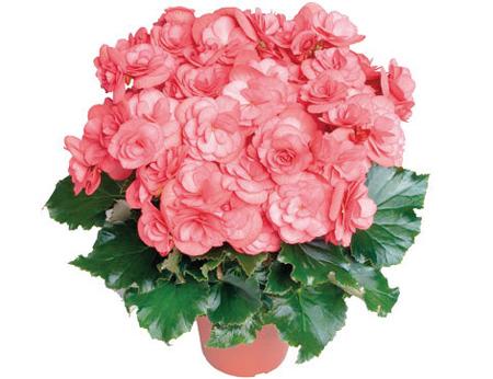 گل بگونیا هلندی