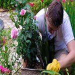 روش های پرورش گل رز