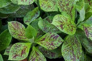 راز های نگهداری و پرورش گل افوربیا سینادنیوم
