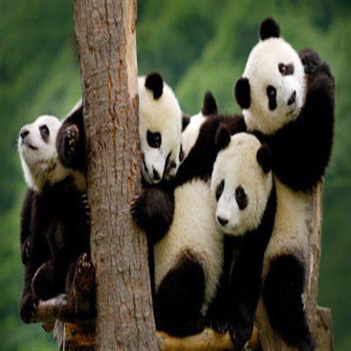 درباره حیوان پاندا چه می دانید؟