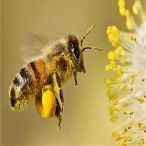 خبرهای جدید علمی درباره زنبورهای عسل