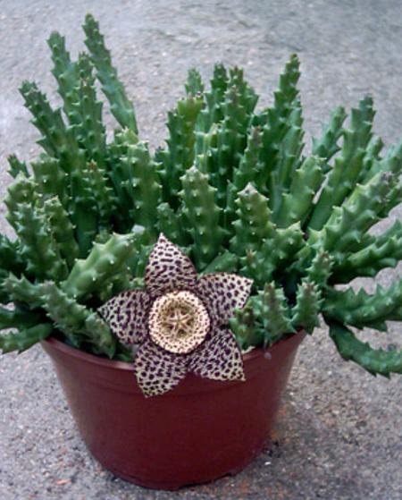 گل استاپیلیا