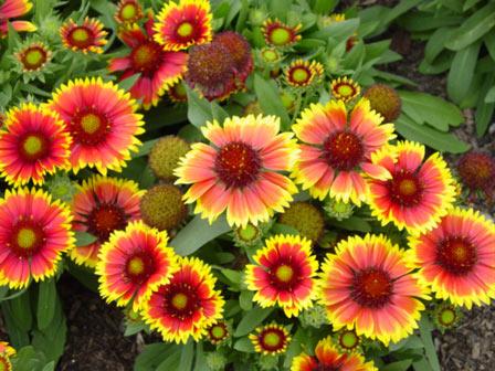 گل رعنا