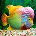 اطلاعاتی راجع به ماهی فلاور هورن