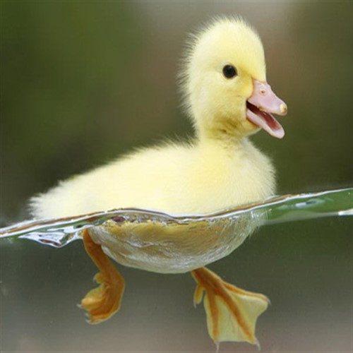 طرز نگهداری اردک در منزل