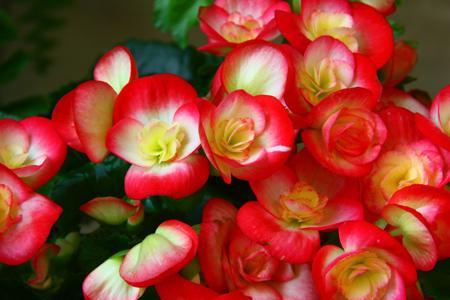 گل بگونیا هیمالیس