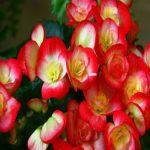 آشنایی با نحوه نگهداری از گل بگونیا هیمالیس