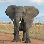 آشنایی با فیل های آفریقایی