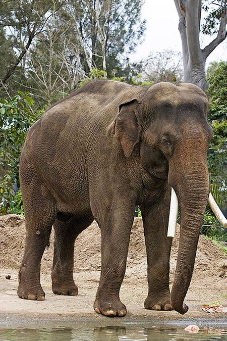 فیل های آفریقایی