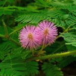 با شرایط نگهداری از گل میموسا آشنا شوید