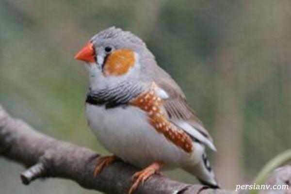 پرنده باز یا همان فنچ را چگونه نگهداری کنیم؟ + عکس