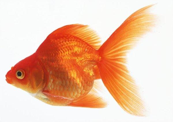 نگهداری ماهی قرمز در خانه