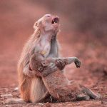 ناله میمون مادر در غم مرگ فرزندش!! +عکس
