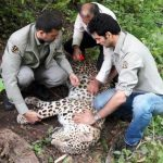 نجات پلنگ از تله سیمی در پارک ملی پاوبند مازندران!+ تصاویر