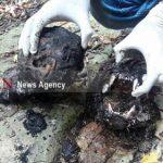 پیگیری حادثه سوزاندن یک پلنگ ماده در مازندران