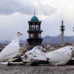 درآمد میلیاردی آستان قدس رضوی از کبوترها!