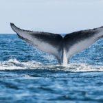 استفراغ نهنگ کیلویی 270 میلیون تومان