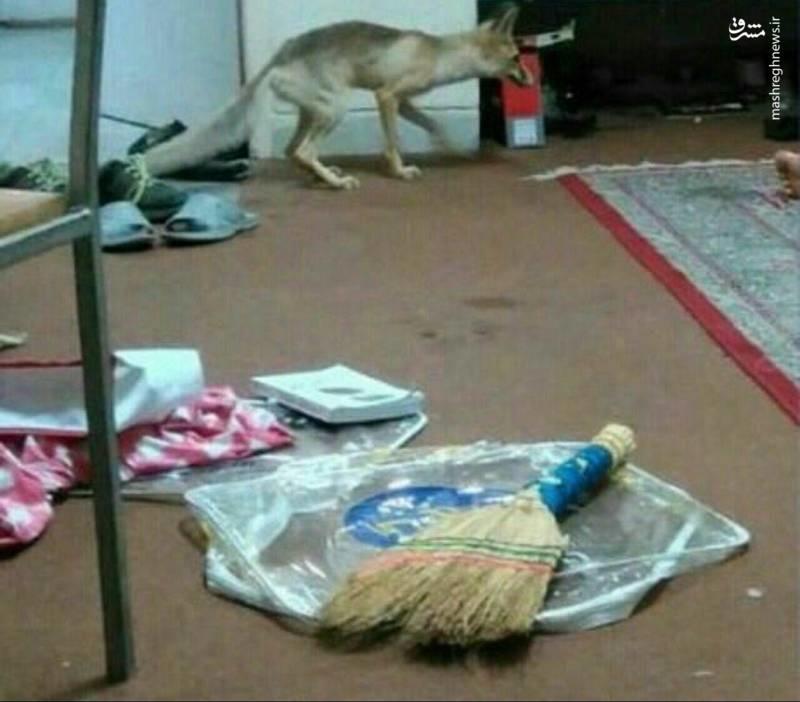 روباه در خوابگاه