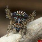 آیا تا به حال عنکبوت طاووسی دیده اید؟