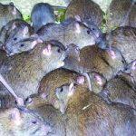موشهای آدمخوار در انتظار زلزلهزدگان تهرانی!