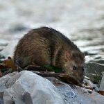 موشهای آدمخوار در تهران صحت ندارند!