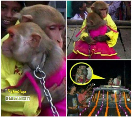 عروسی دو میمون