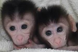 متفاوتترین عروسی دنیا، بین دو میمون عاشق!!