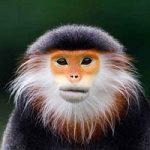 یکی از نادرترین گونههای میمون در جهان!
