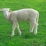 """در پدیده ای نادر تولد بره گوسفندی با """"دو سر"""" در روستای ظفرآباد"""