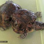 تصاویری جالب از تغییر شکل لاکپشت به خاطر قطعه پلاستیکی