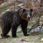 بلایی که گرسنگی سر خرس کنجکاو آورد