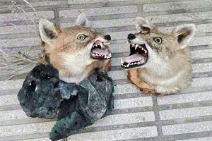 تصاویری دلخراش از حراج گسترده حیوانات خشک شده در فضای مجازی!!