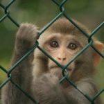 ماجرای عجیب از مرگ نوزاد ۱۲ روزه در اثر دزدی میمون