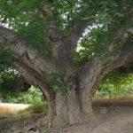 تصاویری از کشف درخت ۵۰۰ ساله با میوه های زرد رنگ