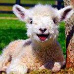 خبر ساز شدن تولد گوسفند عجیبالخلقه به علت ازدواج فامیلی!!