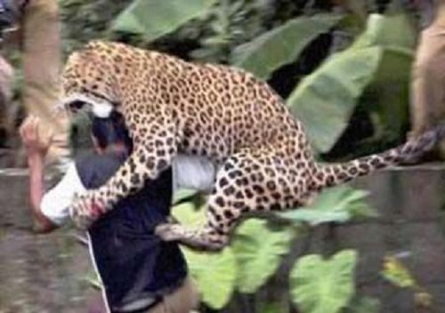 حمله یک قلاده پلنگ به مرد چوپان در شهرستان شفت